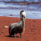 A brown pelican eating red fish Stock Photo