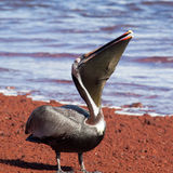 A brown pelican eating red fish Royalty Free Stock Image