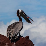 A brown pelican eating red fish Stock Image