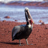 A brown pelican eating red fish Stock Images