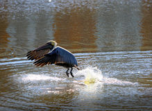A brown pelican emerging from the river's water Stock Photography