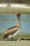 Brown Pelican Portrait Royalty Free Stock Image