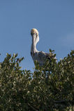 Brown Pelican eye contact Stock Photography