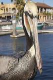 Brown Pelican Eyes the Viewer in San Carlos Mexico. Colorful Brown Pelican Eyes the Viewer in San Carlos Mexico at the marina Royalty Free Stock Photo