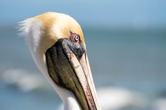 Brown pelican face. Close up Stock Photography