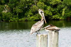Brown Pelican female and fledgling Stock Photography