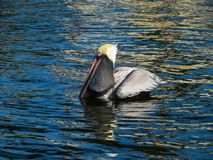 Brown Pelican with a fish in his pouch stock photo