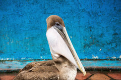 Brown pelican with a fish in its pouch. Selective focus on the pouch, background is out of focus and some parts of the bird are soft Royalty Free Stock Photography
