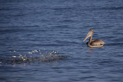 Brown Pelican with Fish Royalty Free Stock Photos