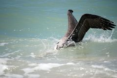 Brown Pelican Fishing. A brown pelican diving into a wave to catch a fish Royalty Free Stock Photography