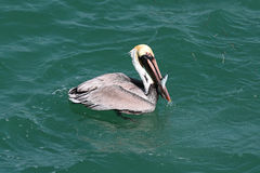Brown Pelican Fishing In The Gulf Royalty Free Stock Photography