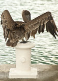 Brown pelican flapping Royalty Free Stock Images