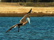 Brown pelican in flight. Side view of brown pelican in flight over water in wetlands Stock Images