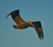 Brown Pelican in Flight Royalty Free Stock Images