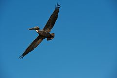Brown Pelican in Flight Stock Photo