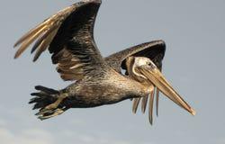 Brown Pelican in Flight. Pelican in flight. Photo taken at Bolsa Chica Wetlands, Ecological Reserve in Huntington Beach, California Stock Images