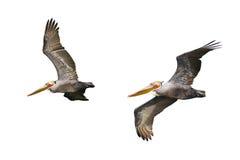 Brown Pelican in Flight Stock Photos