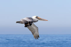 Brown Pelican in Flight Royalty Free Stock Image