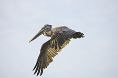 A Brown Pelican in flight. Across a small pond Royalty Free Stock Photo