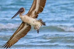 Brown Pelican in Flight above Sanibel Beach in Florida stock images