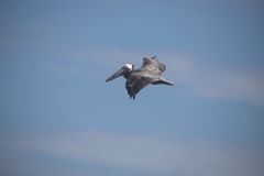 Brown Pelican in flight. Pelican in flight with blue sky background and light cloud, Tulum beach, Mexico Royalty Free Stock Photos