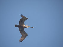 Brown Pelican in flight. Pelican in flight with blue sky background Sian Kaan reserve, Mayan Riviera , Mexico Royalty Free Stock Images