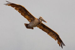 Brown Pelican. In flight coming in to roost for the night Stock Photography