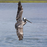 Brown Pelican in flight Stock Photography