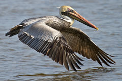 Brown Pelican In Flight Royalty Free Stock Photo