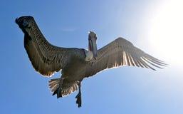 Brown pelican in flight. Royalty Free Stock Image