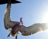 Brown pelican in flight. Stock Image