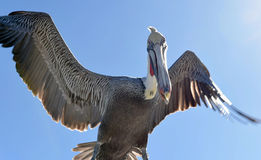 Brown pelican in flight. Royalty Free Stock Photo