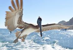 Brown pelican in flight. Royalty Free Stock Photos