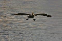 Brown pelican in flight Royalty Free Stock Photos