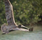 Brown Pelican in flight. Pelican in flight over estuary in  Sian Kaan reserve Mexico Stock Photos