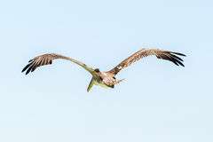 Brown Pelican in flight over Galapagos Islands Stock Images