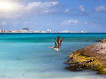 Brown pelican in flight over the sea. Rocky coast, the sea and city in the distance Stock Photos