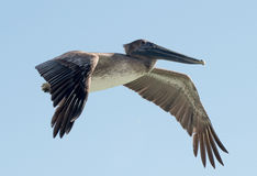 Brown pelican in flight Stock Images