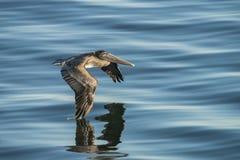 Brown Pelican in flight over water 2 Stock Images