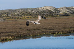 Brown Pelican in flight over the wetlands Royalty Free Stock Photo
