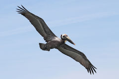 Brown Pelican In Flight Royalty Free Stock Photography
