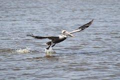 Brown Pelican In Flight Royalty Free Stock Images