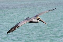Brown Pelican In Flight Stock Image