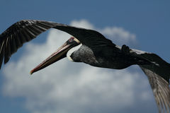 Brown pelican in flight. Royalty Free Stock Photography