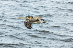 A brown pelican in flight at see in Cape Coral. Stock Image