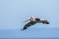 Brown Pelican in flight. Royalty Free Stock Photos