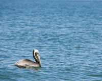 Brown Pelican Royalty Free Stock Photography