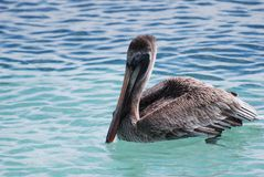 Brown Pelican floating Stock Photo
