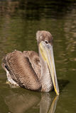 Brown pelican floating in a pond Stock Image