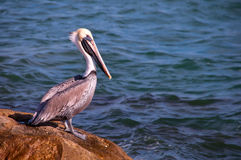 Brown pelican, Florida Royalty Free Stock Photo